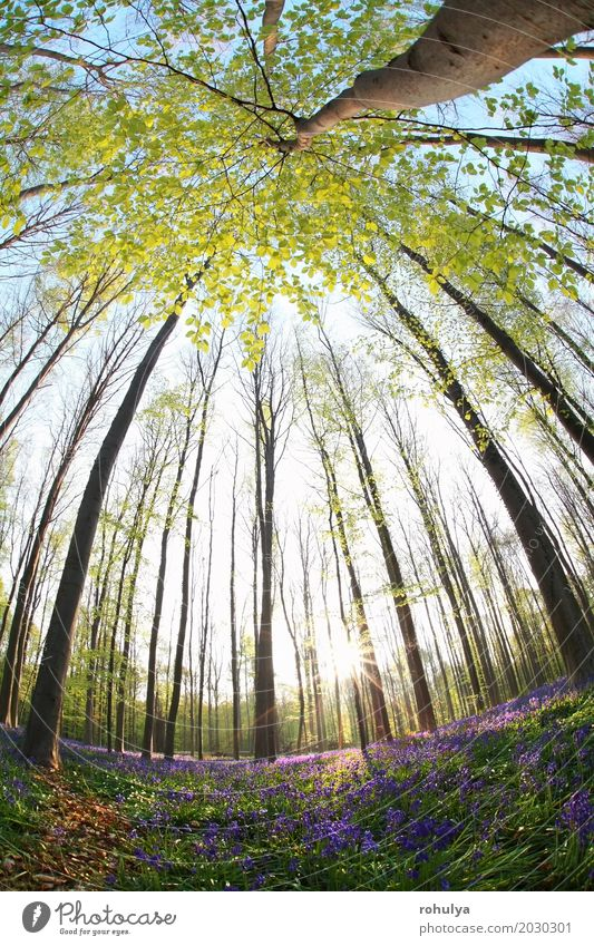 sunshine in spring flowering forest via fish-eye view Sun Nature Landscape Plant Spring Tree Flower Blossom Forest Wild Blue Beech Bluebell hyacinth Purple