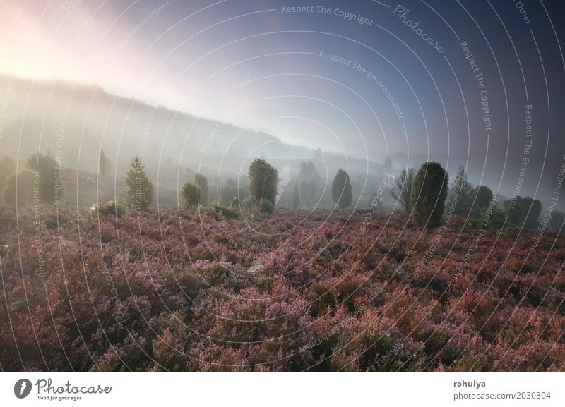 misty morning over hills with wildflowers and junipers Summer Nature Landscape Plant Sky Sunrise Sunset Sunlight Fog Flower Blossom Meadow Hill Pink Serene