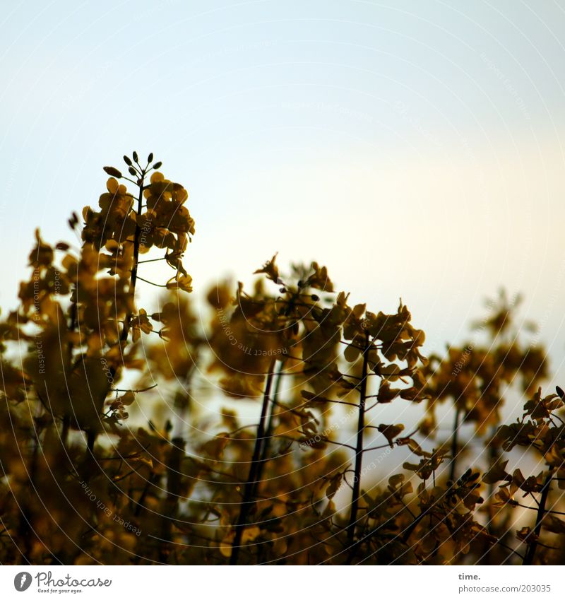Plant Yellow Brown Field Gold Many Dusk Muddled Canola Canola field Agricultural crop