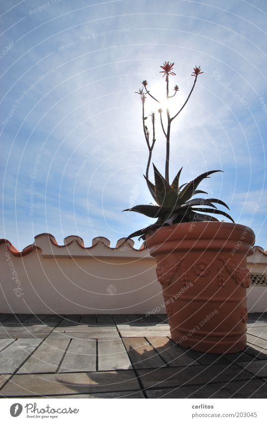 sunflower Decoration Roof terrace Handrail Roofing tile Monk and nun Sky Sunlight Summer Beautiful weather Plant Pot plant Dream house Wall (barrier)