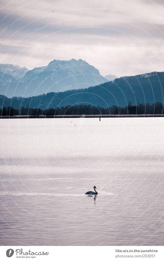 Swan(en)see - kitsch olé Elegant Water Sky Sunlight Winter Beautiful weather Alps Mountain Peak Snowcapped peak Coast Lakeside Duck Bird Glittering Esthetic