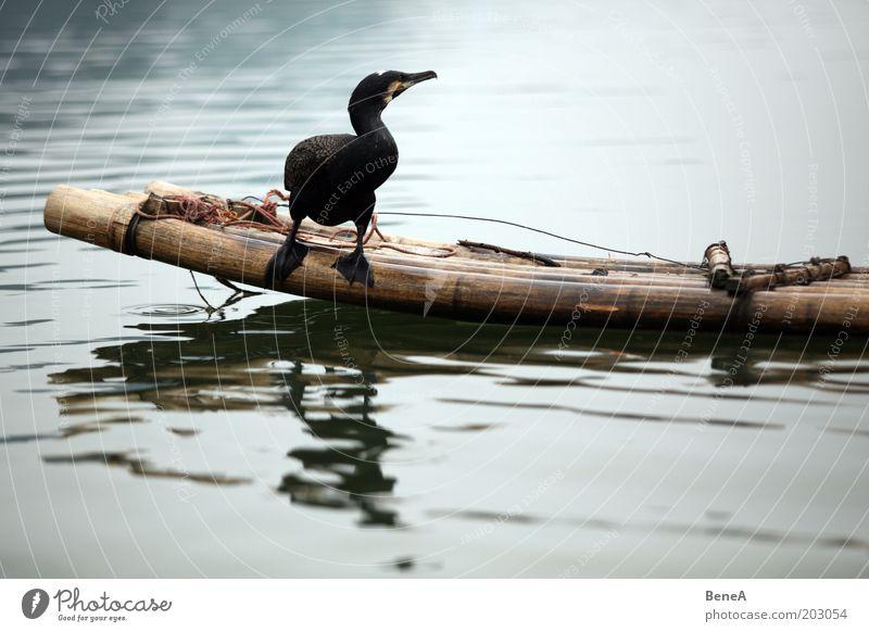 Nature Water Animal Lake Bird Wait Sit River Brook Bamboo stick Farm animal Cormorant Bamboo boat