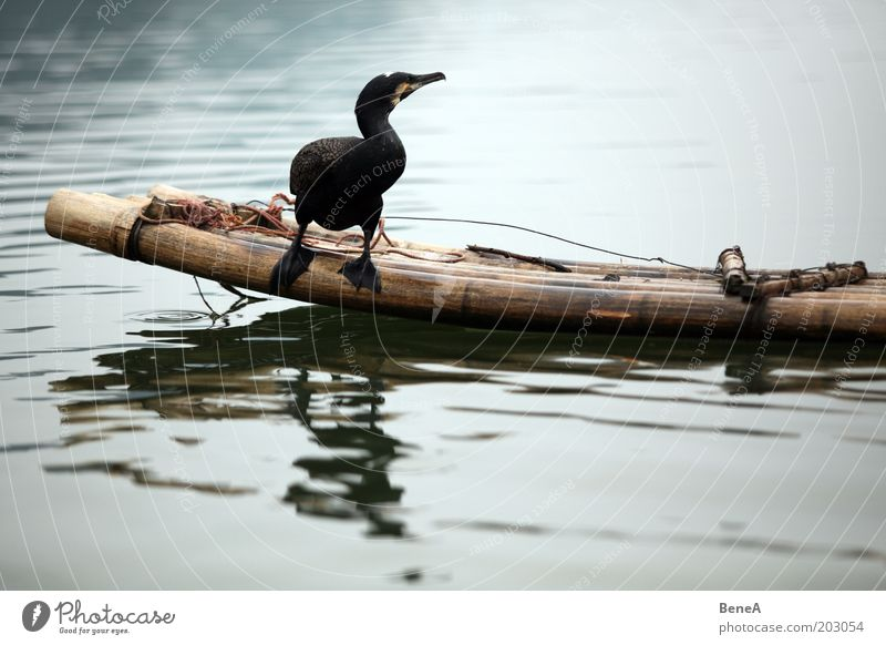 Nature Water Animal Lake Bird Wait Sit River Brook Bamboo stick Farm animal Cormorant Bamboo boat
