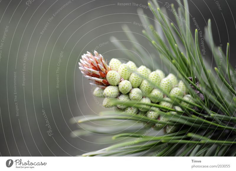 Nature Plant Spring Park Growth Fresh Point Thin Fragrance Seed Thorny Shoot Coniferous trees Propagation Cone Copy Space left