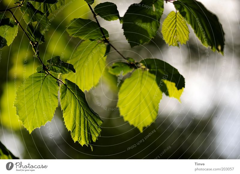 beech leaves Nature Spring Beautiful weather Plant Leaf Foliage plant Dark Fresh Green Beech tree Beech leaf Part of the plant Translucent Rachis Twig