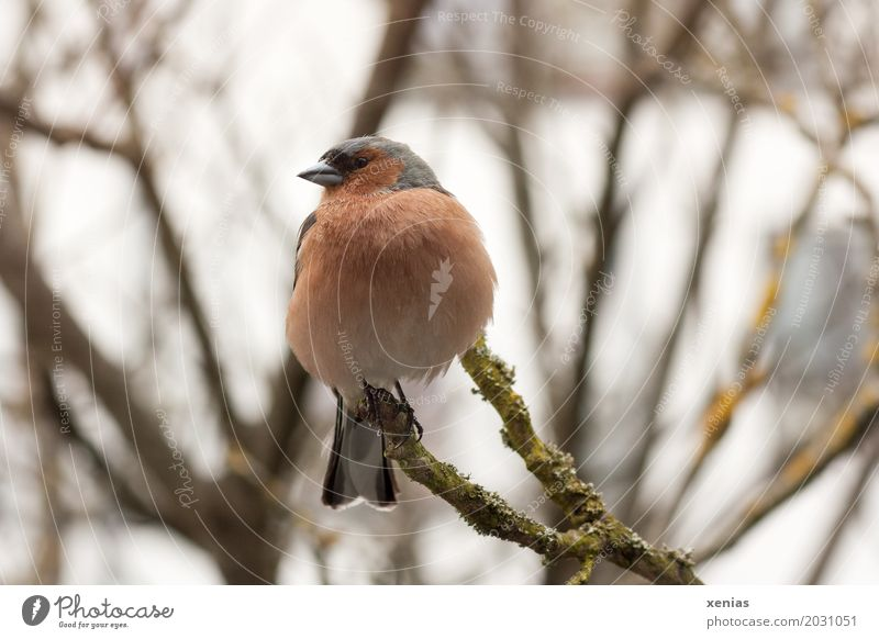 Bunting in a bare tree Spring Tree Branch Garden Park Animal Bird Chaffinch 1 Looking Sit Gray Orange Feather Colour photo Exterior shot Close-up Full-length