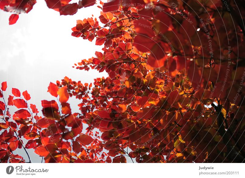 Nature Beautiful Sky Tree Plant Red Summer Leaf Forest Life Autumn Power Environment Natural Illuminate Beautiful weather