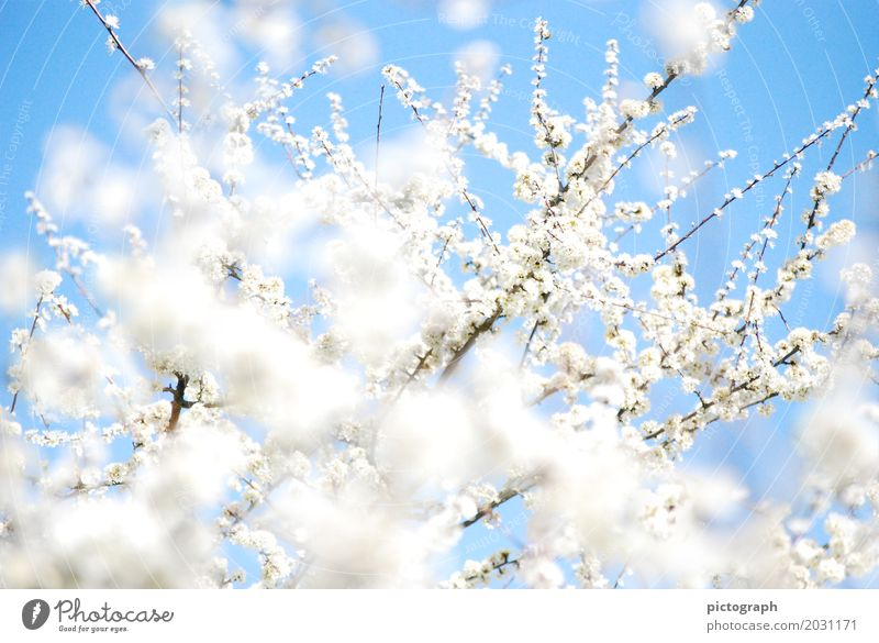 sloe fire Life Wedding Nature Plant Sunlight Spring Bushes Blossom Agricultural crop Blackthorn Garden Bouquet Blossoming Fragrance Relaxation Glittering