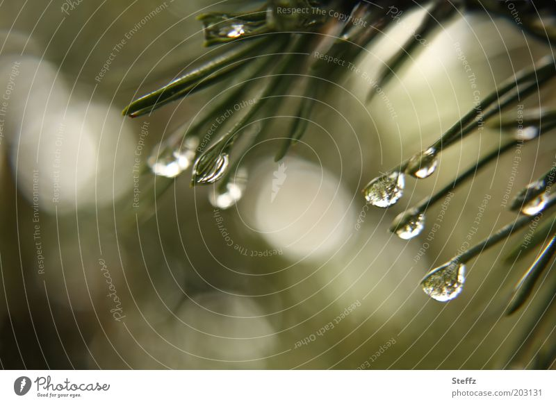 Pine needles in the May rain raindrops Fir needle Drop Rain Dark green green-grey Drops of water Fragrance naturally Wet fragrances Foliage plant fir scent