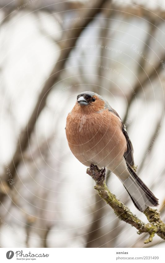 Chaffinch sitting on a branch Tree Branch Bird Animal Crouch Looking Sit Orange Red Black White Calm Feather Button eyes Shallow depth of field Animal portrait