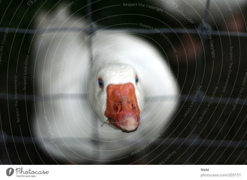 White Black Animal Animal face Wild Captured Beak Goose Frustration Grating Enclosure Farm animal Cage Beg