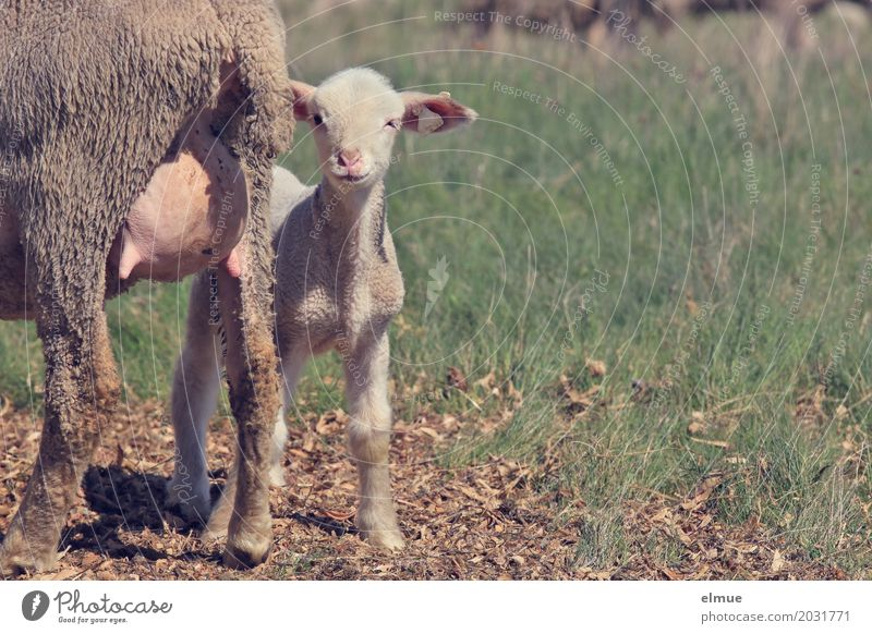 mine! Farm animal Animal face Pelt Sheep Lamb Udder Baby animal Milk bar meek as a lamb Mother Mother with child Observe Communicate Stand Cute