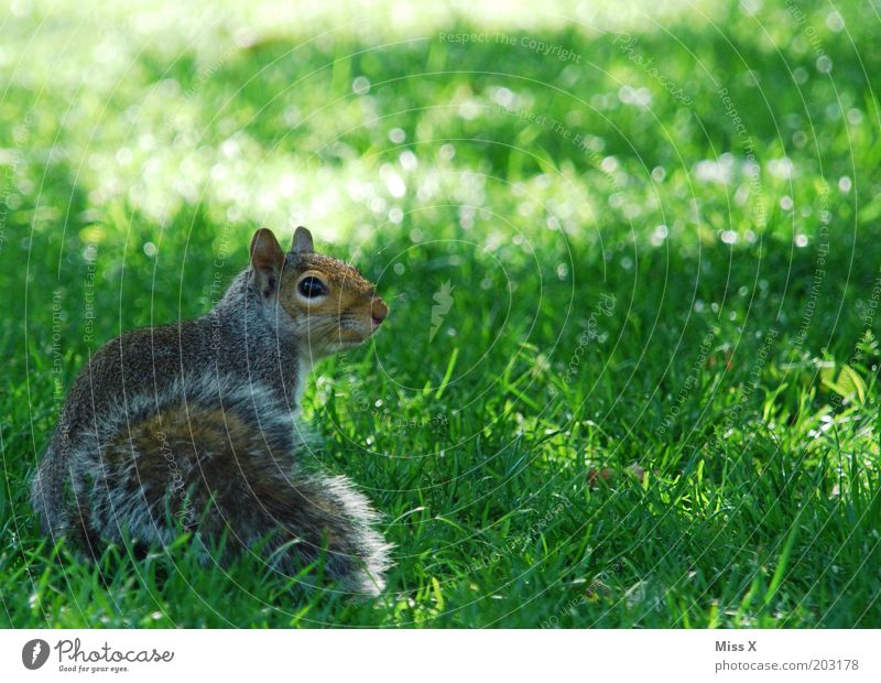 Squirrel at St. James Park Garden Grass Meadow Animal Wild animal 1 Baby animal Cuddly Curiosity Zoo Timidity Smooth Colour photo Exterior shot Close-up
