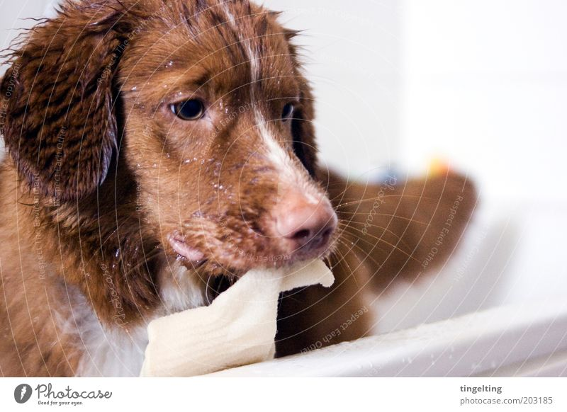 ...and now a peeling, please! Swimming & Bathing Animal Pet Dog 1 Cleaning Wet Brown Red White Bathtub Pelt Snout Colour photo Interior shot Copy Space right