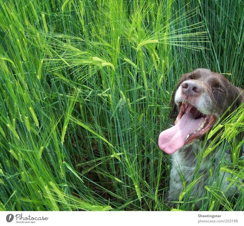 A dog in the cornfield Spring Warmth Plant Foliage plant Field Animal Pet Dog Animal face 1 Sit Long Brown Green White Break Colour photo Copy Space left Day
