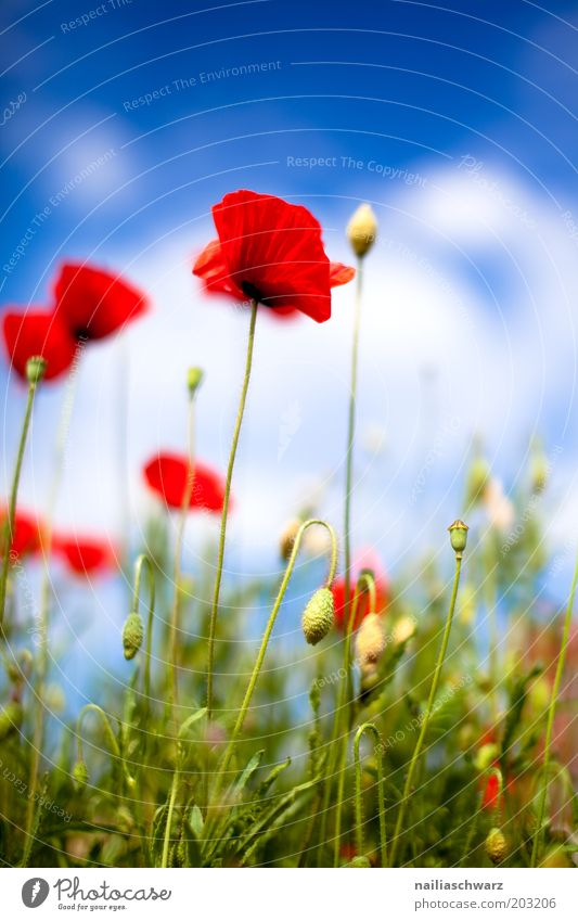 poppies Environment Nature Plant Sky Clouds Sunlight Spring Summer Beautiful weather Grass Blossom Foliage plant Wild plant Poppy Poppy blossom Poppy field