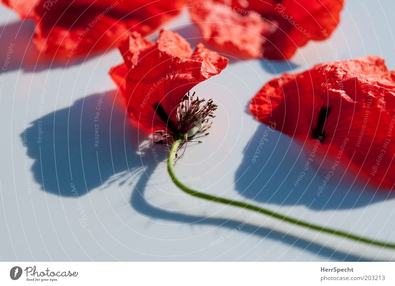 Beautiful Old White Flower Plant Red Black Blossom Broken Transience Delicate Stalk Poppy Faded Blossom leave