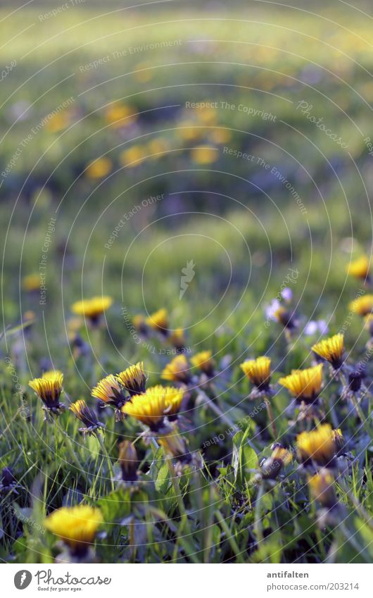 dandelion Nature Plant Spring Summer Beautiful weather Flower Grass Blossom Dandelion Park Meadow Fragrance Growth Fresh Infinity Yellow Green Spring fever
