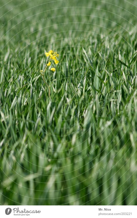 Nature Green Plant Summer Yellow Spring Field Environment Growth Grain Canola Wheat Spring fever Grass Agricultural crop Wheatfield