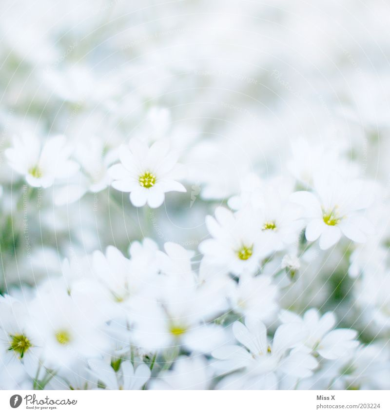 White Flower Plant Meadow Blossom Spring Garden Bright Pure Blossoming Fragrance Purity Pattern