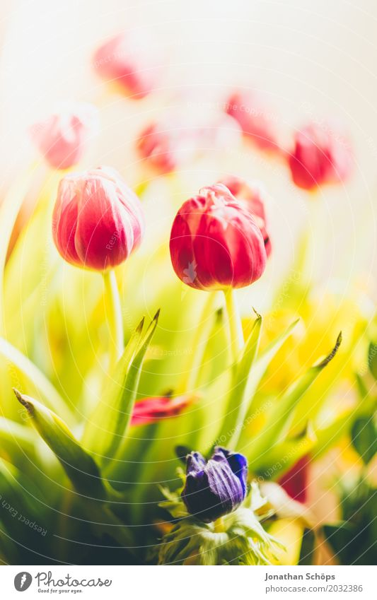 Tulip bouquet I Summer Garden Spring Flower Leaf Blossom Meadow Bouquet Love Growth Green Violet Pink Red Gift Thuringia Bright background Blossoming