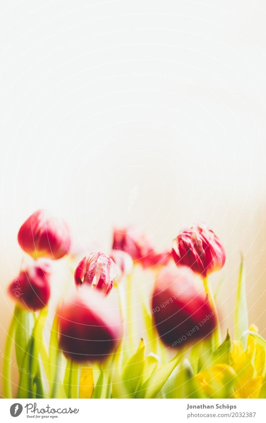 Tulip bouquet II Summer Garden Spring Flower Leaf Blossom Meadow Bouquet Love Growth Green Violet Pink Red Gift Bright background Blossoming Colour
