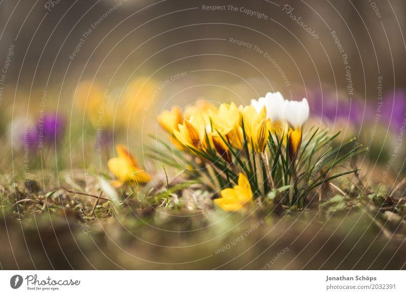 Spring meadow XII Relaxation Summer Garden Flower Blossom Meadow Growth Small Yellow Violet Pink Erfurt Little Venice Little Venice Erfurt Thuringia Crocus