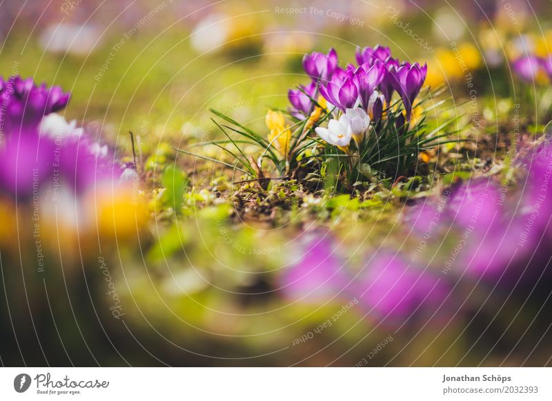 Spring meadow XIII Relaxation Summer Garden Flower Blossom Meadow Growth Small Yellow Violet Pink Erfurt Little Venice Little Venice Erfurt Thuringia Crocus