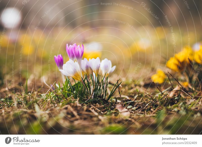 Summer Flower Relaxation Yellow Blossom Spring Meadow Small Garden Pink Growth Blossoming Violet Crocus Erfurt Thuringia