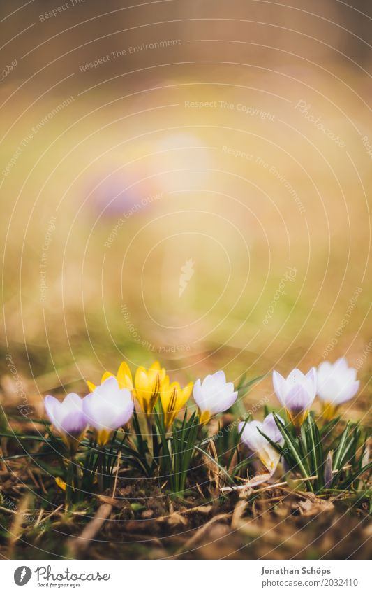 Summer Flower Relaxation Yellow Blossom Spring Meadow Small Garden Pink Growth Blossoming Romance Violet Dreamily Crocus