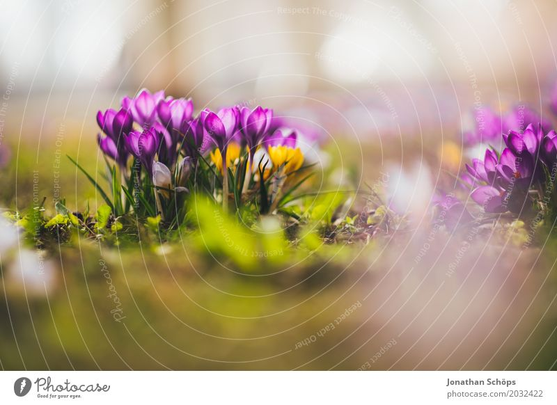 Summer Flower Relaxation Yellow Blossom Spring Meadow Small Garden Pink Growth Romance Violet Crocus Erfurt Thuringia