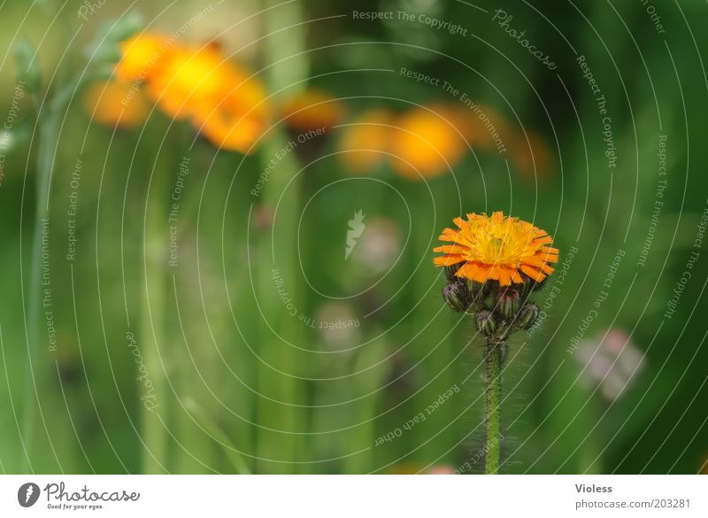 hawkweed Nature Plant Flower Blossom Wild plant Fresh Woolly hawkweed Orange Colour photo Meadow Blossoming Deserted
