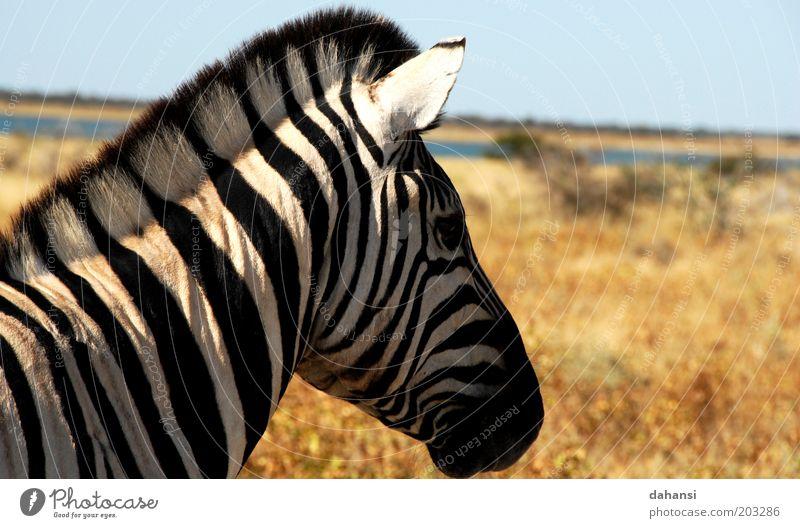 black & white Trip Safari Expedition Hunting Nature Landscape Warmth Drought Savannah Animal Wild animal Animal face Pelt Zebra 1 Wait Black White Calm