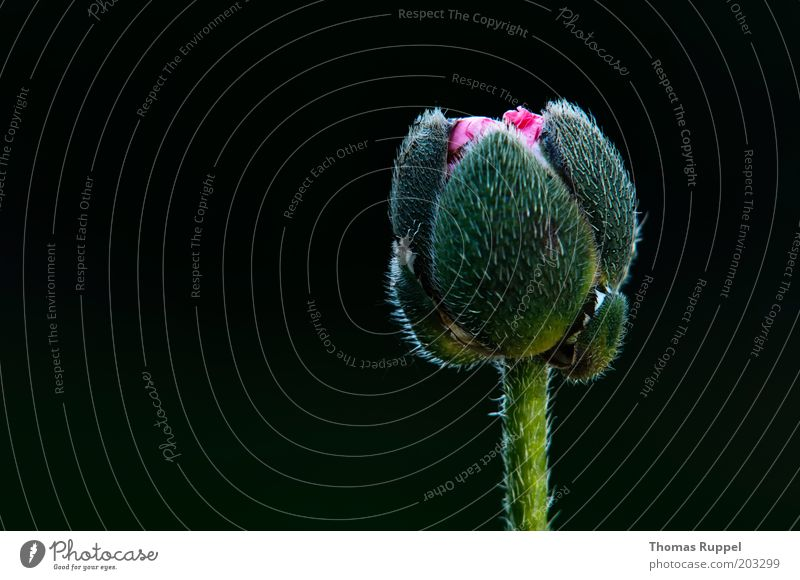 Beautiful Flower Green Plant Black Blossom Pink Beginning New Poppy Poppy blossom Wild plant Poppy capsule