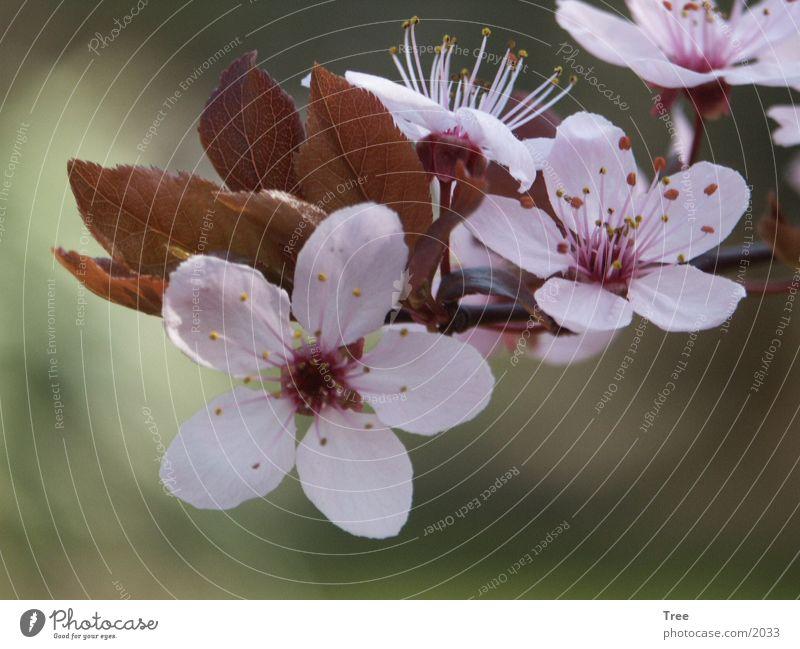 wild plum blossom flower nature