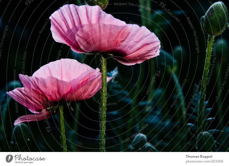 Beautiful Flower Green Plant Black Blossom Pink Blossoming Poppy Foliage plant Light Flash photo Poppy blossom Poppy field