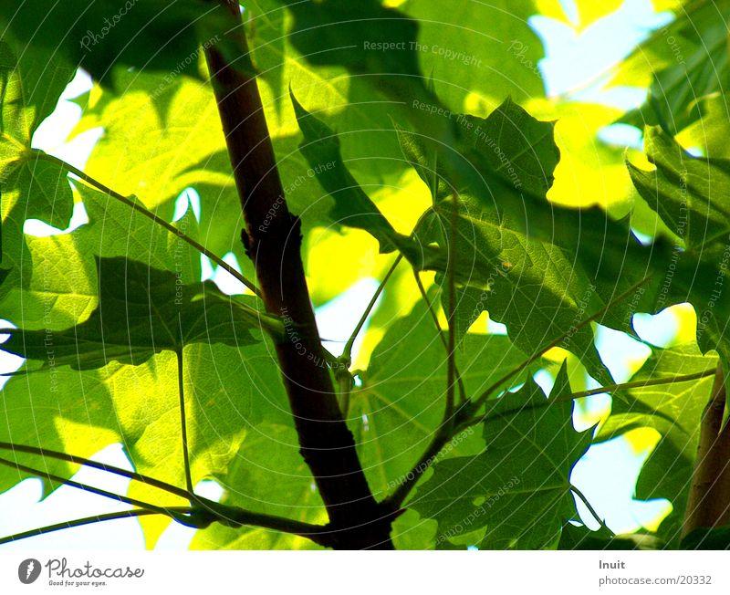 leaves Leaf Tree Maple tree Green Blue