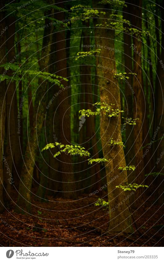Nature Tree Green Calm Forest Dark Brown Power Growth Natural Idyll Beech tree Perspective Beech wood