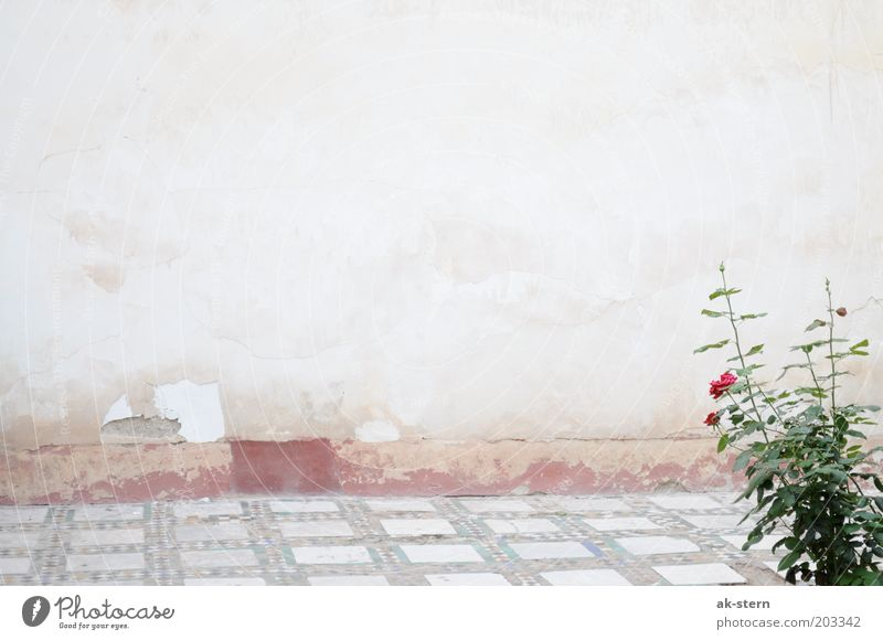rose garden Flower Rose Wall (barrier) Wall (building) Facade Terrace Stone Esthetic Brown Gray Pink Red Exterior shot Copy Space top Ground Decline Old Plaster