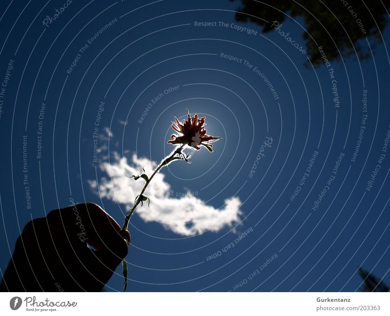 Nature Hand Beautiful Sky White Sun Flower Blue Plant Red Clouds Blossom Fingers Esthetic Romance Blossoming