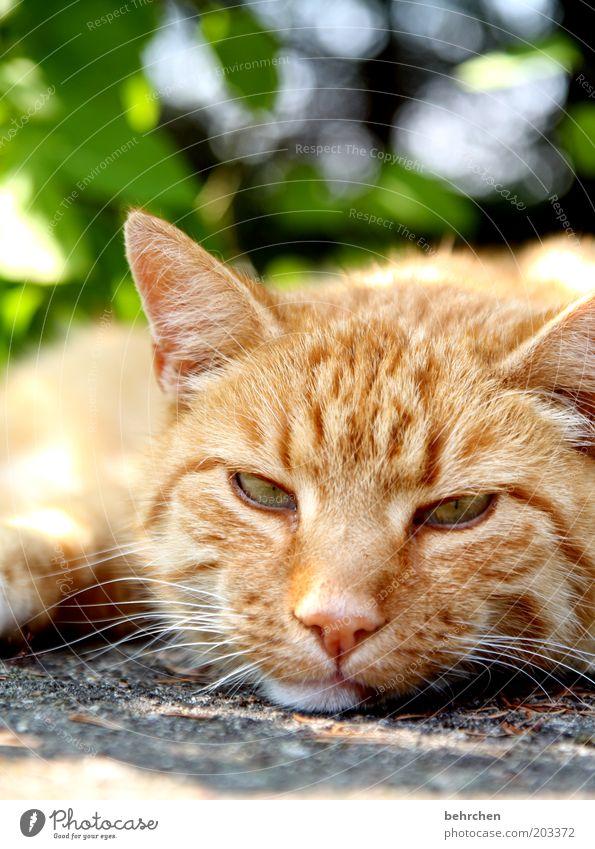 Eyes Animal Relaxation Cat Nose Sleep Cool (slang) Ear Animal face Lie Pelt Serene Fatigue To enjoy Boredom Pet