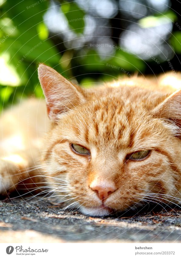 Eyes Animal Relaxation Cat Nose Sleep Cool (slang) Ear Animal face Lie Pelt Serene Fatigue To enjoy Boredom Pet