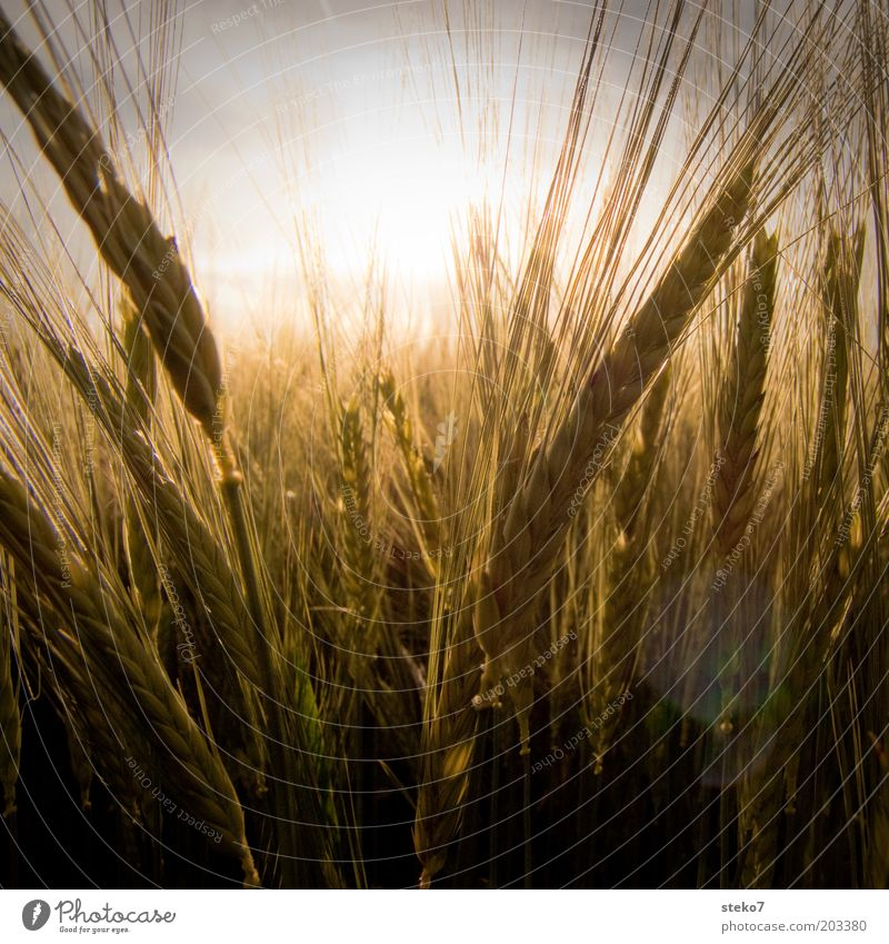 Nature Sun Plant Summer Yellow Warmth Field Gold Energy Growth Hot Agriculture Fragrance Dry Beautiful weather Cornfield