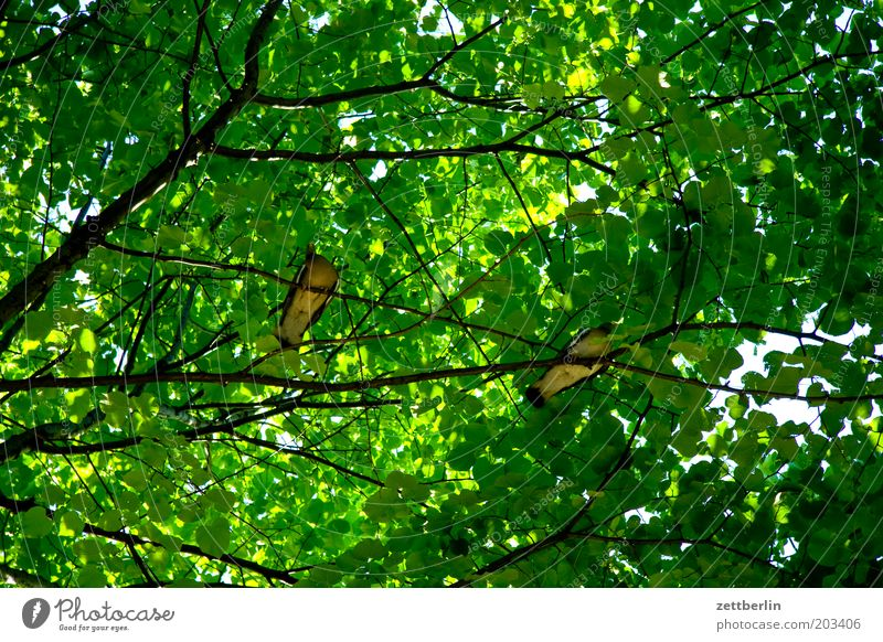 Tree Green Summer Calm Dark Bird Pair of animals Sit Break Protection Branch Pigeon Twig Leaf green Leaf canopy