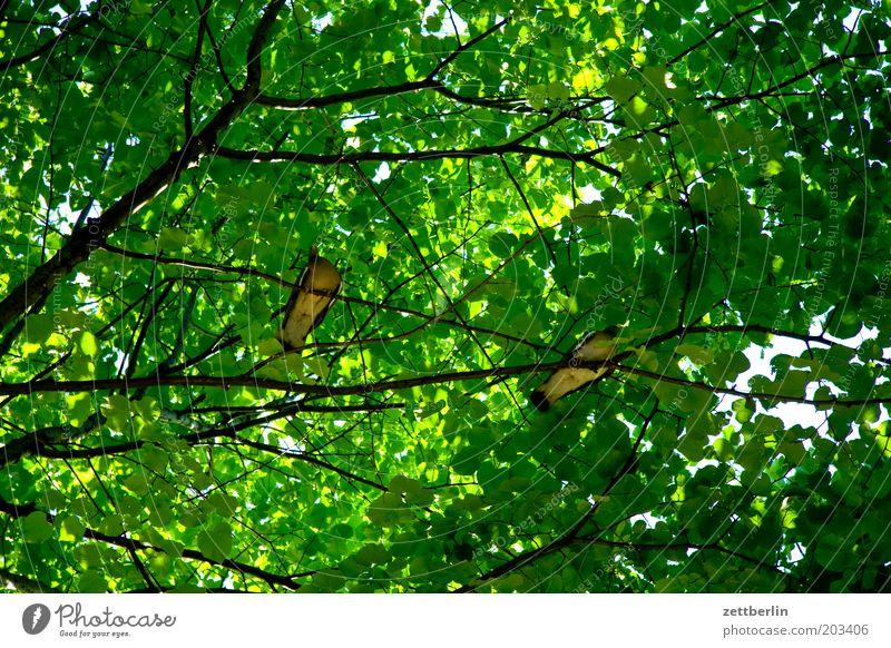 Tree Green Summer Calm Dark Bird Pair of animals Sit Break Protection Branch Pigeon Twig Leaf green Leaf canopy