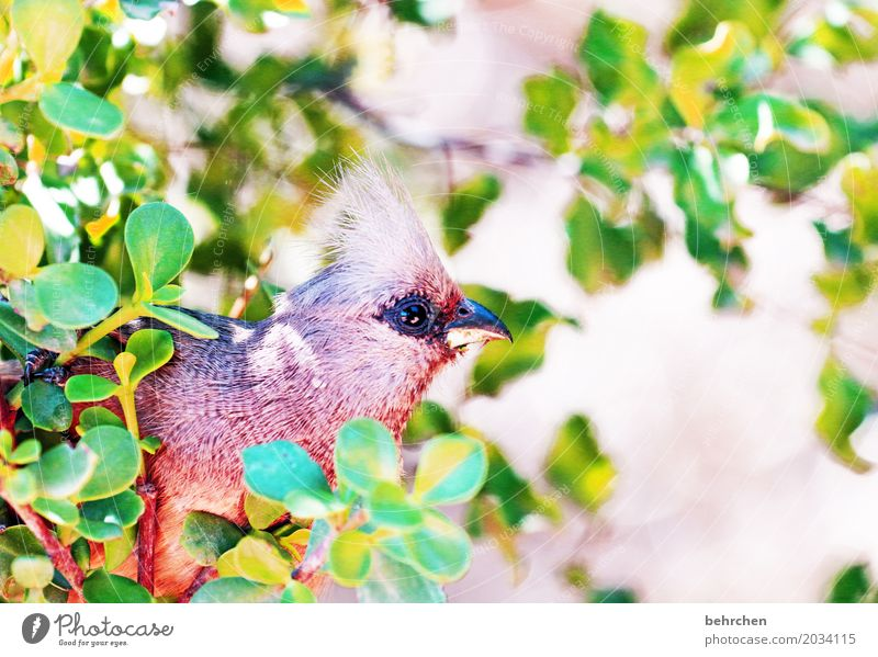 mousebird Vacation & Travel Tourism Trip Adventure Far-off places Freedom Safari Nature Plant Animal Tree Bushes Leaf South Africa Wild animal Bird Animal face