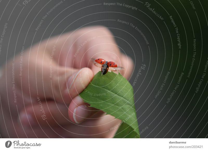 departure Hand 1 Human being Nature Leaf Animal Beetle Wing Ladybird Flying Esthetic Elegant Red Black Happy Joie de vivre (Vitality) Spring fever Colour photo