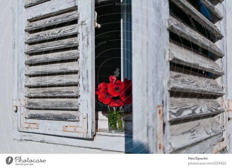 Old White Flower Red Window Dye Open Derelict Poppy Bouquet Shutter Slat blinds Manmade structures Perspective