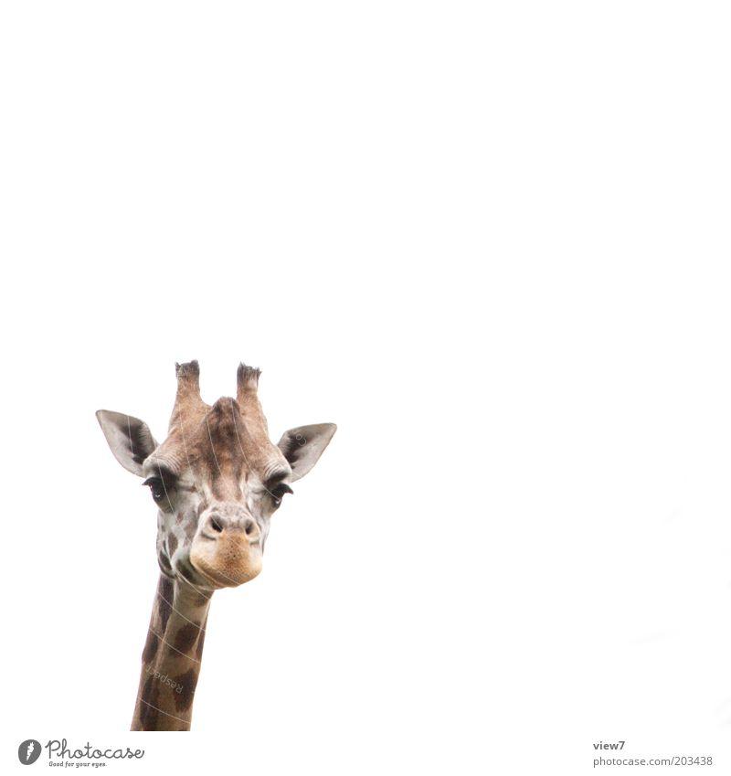 Jürgen Meinhardt Animal Wild animal Animal face Zoo Giraffe 1 Observe Think Discover Looking Esthetic Authentic Tall Curiosity Cute Above Positive Beautiful