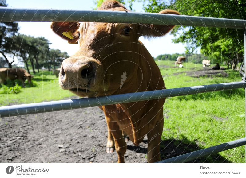 """""""Yes, please?"""" Animal Farm animal Cow Animal face Pelt Curiosity Brown Nature Pasture Metal post Dairy cow Cattle Colour photo Exterior shot Nose Fence Head"""